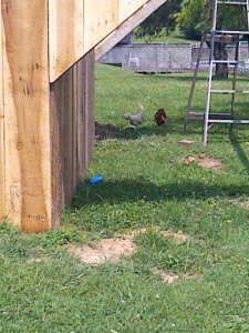 some of the chicks checking out the progress of construction