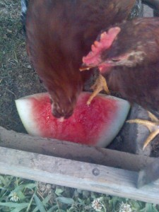 The flock loved a favorite summer treat!